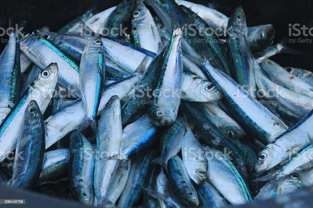 Sea Fish stock photo