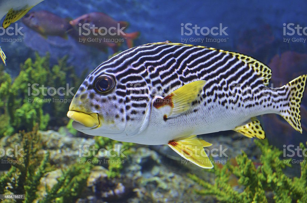 Sea fish swims in the deep blue see royalty-free stock photo