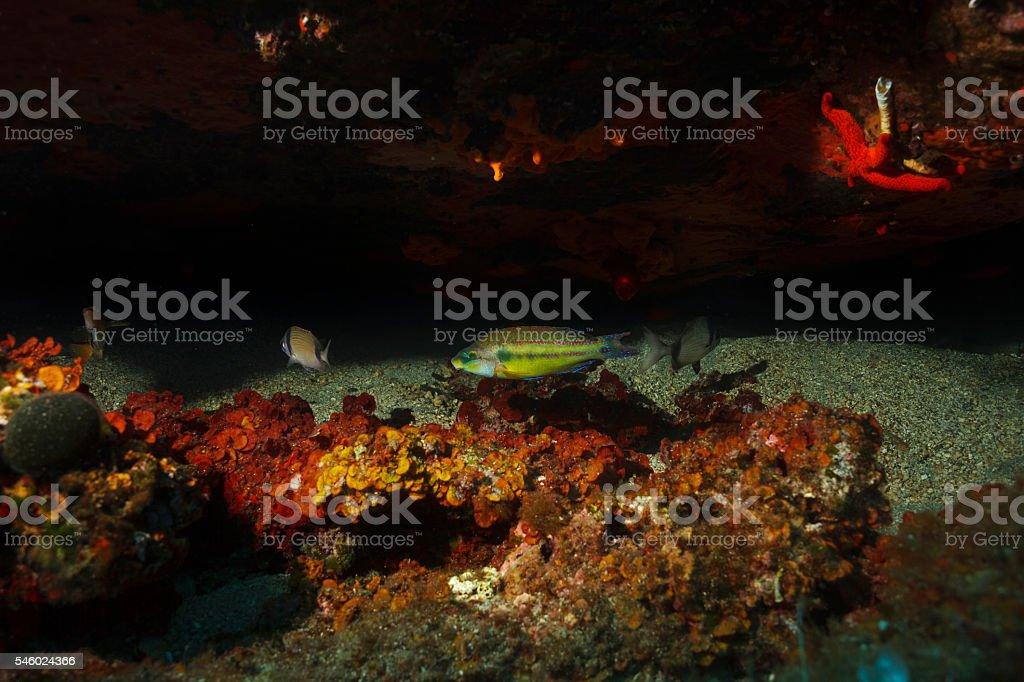 Sea fish   Underwater reef   Sea life  Peacock wrasse     Diplodus vulgaris stock photo