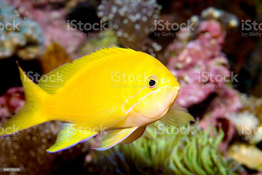 Sea goldie closeup stock photo