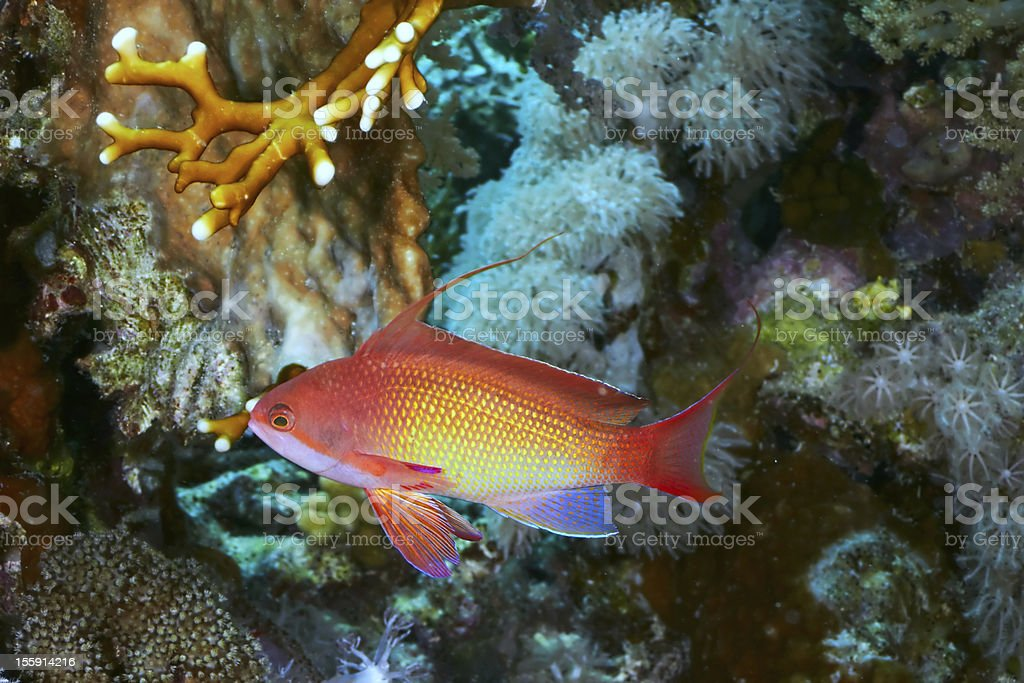 Sea goldie royalty-free stock photo