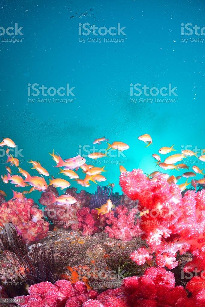 sea goldie stock photo
