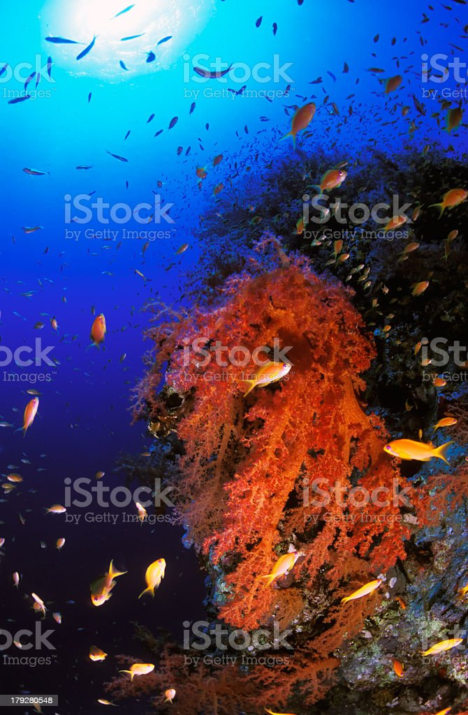 Sea goldie school and soft coral royalty-free stock photo