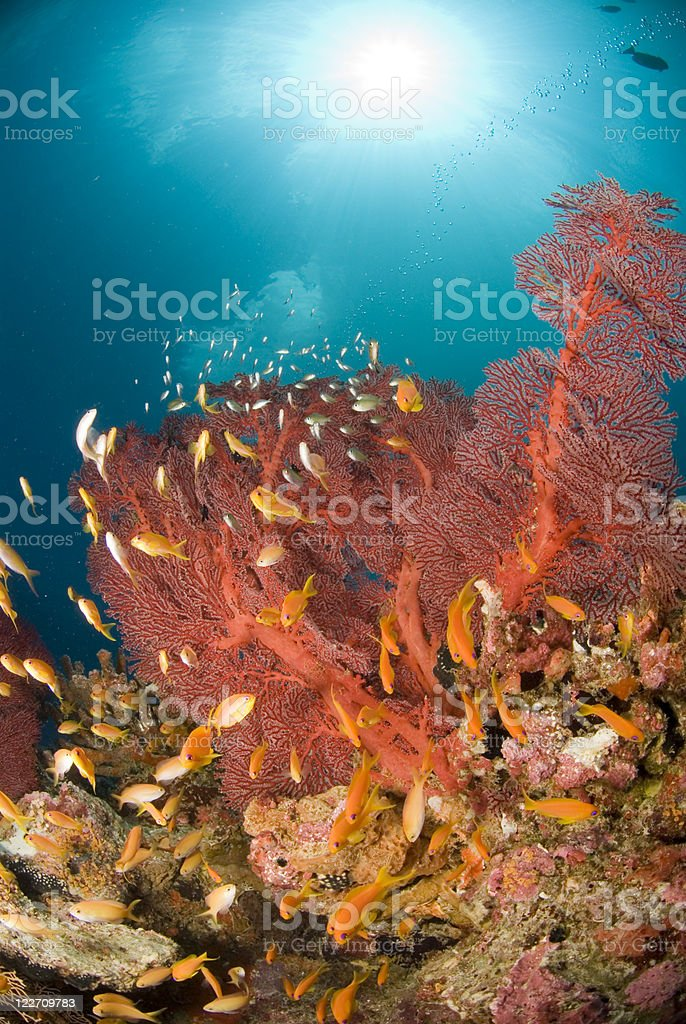 sea goldies and red fan coral stock photo