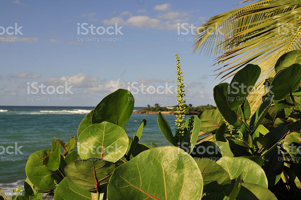 Sea Grape Blooming stock photo