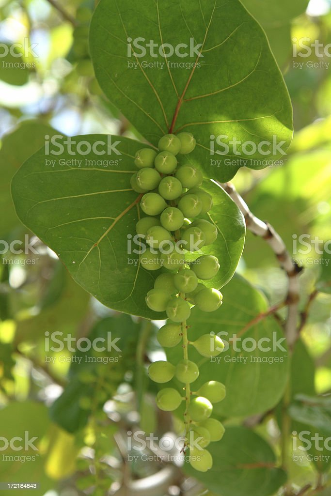 Sea Grape leaves and berries in bright sunlight stock photo