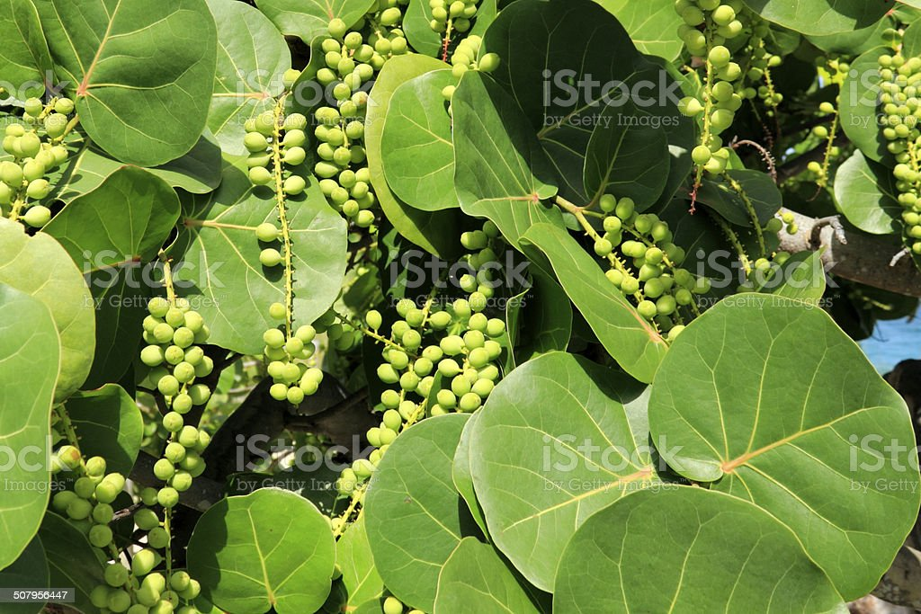 Sea Grape Leaves and Berries stock photo