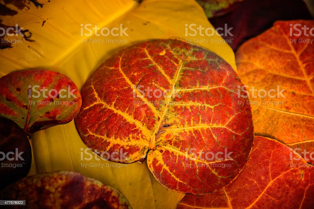 Sea grape Leaves stock photo