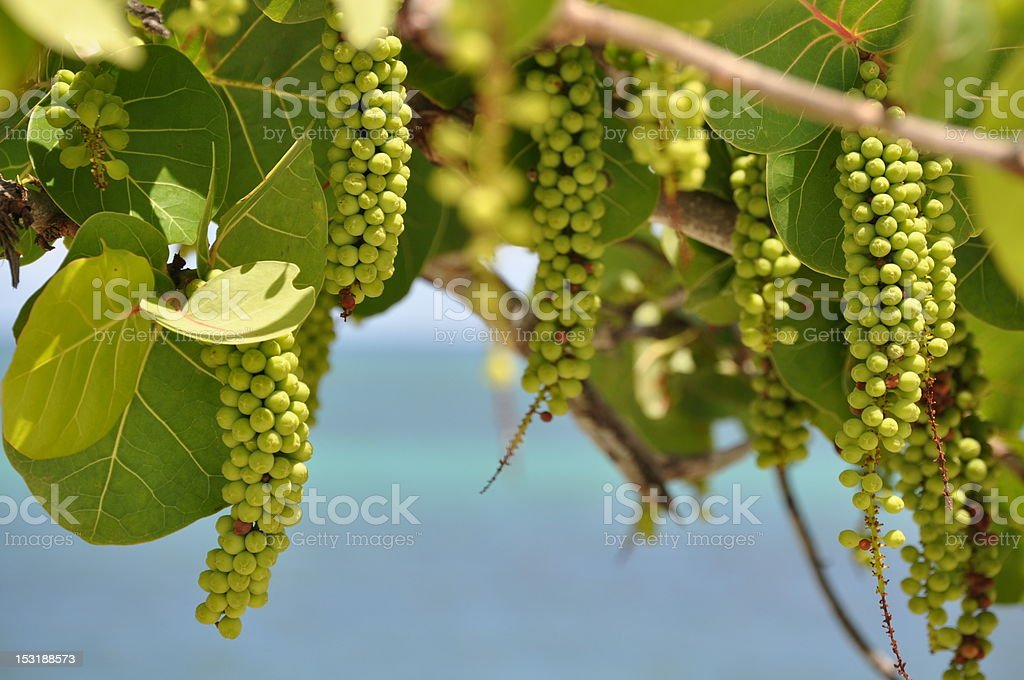 Sea Grape stock photo