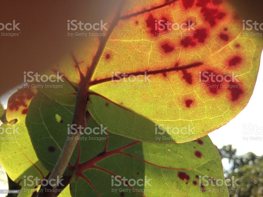 Sea Grape with Red Marks stock photo