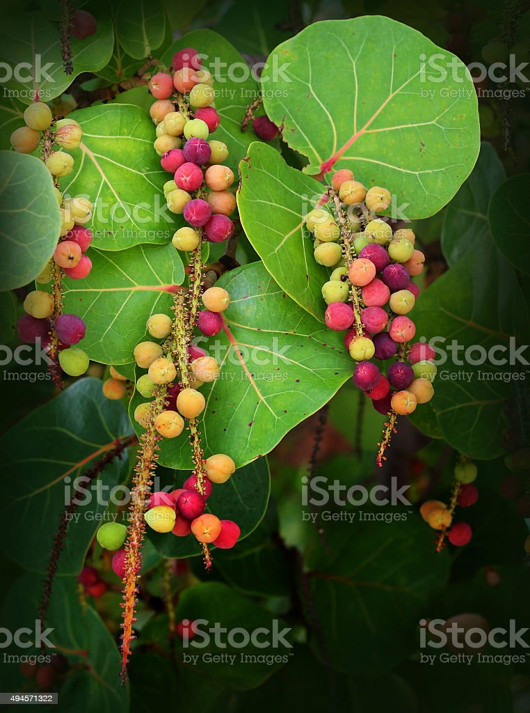 Sea Grapes Hanging from a Tree stock photo