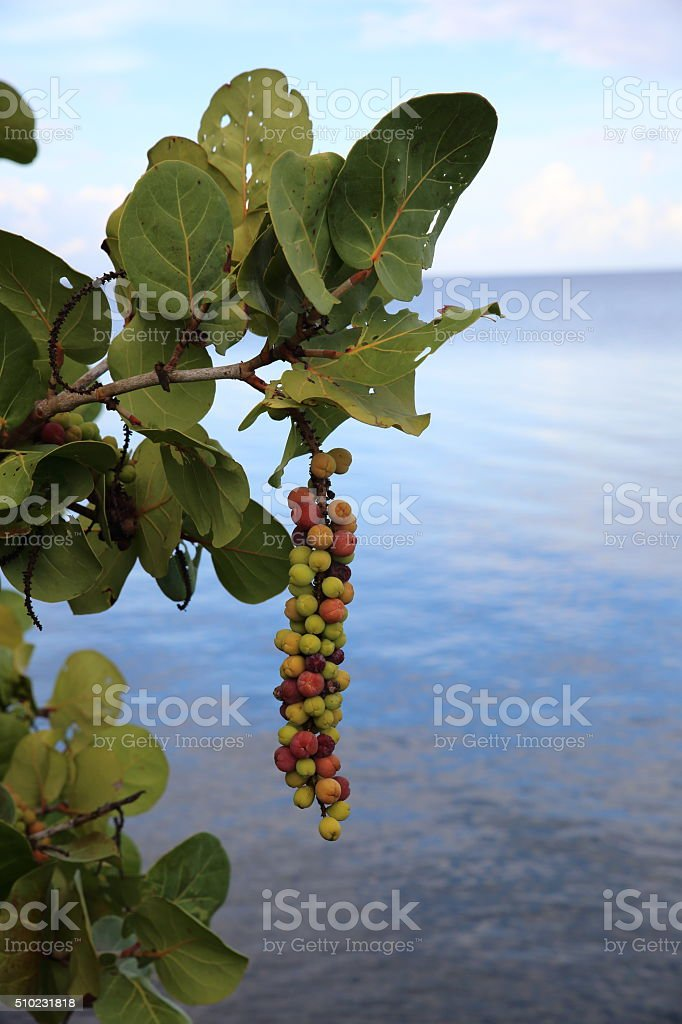 Sea Grapes on tree stock photo