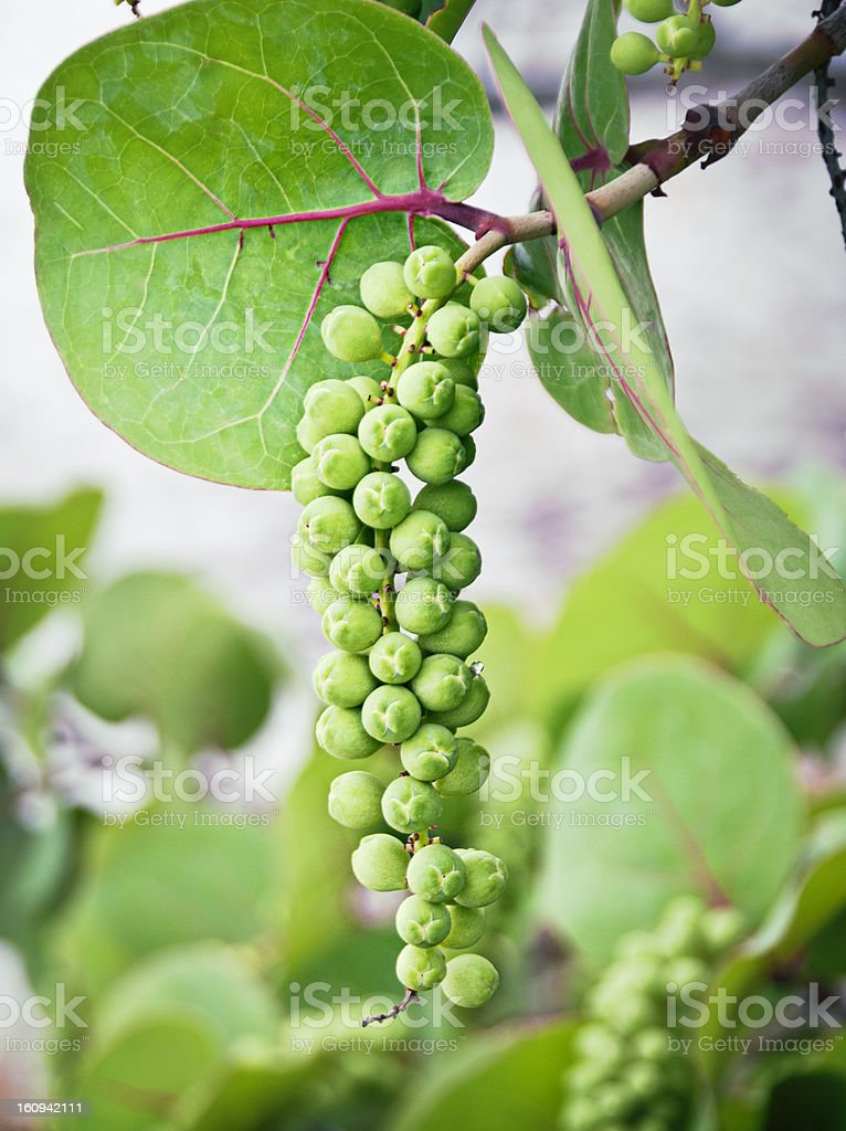 Sea grapes stock photo