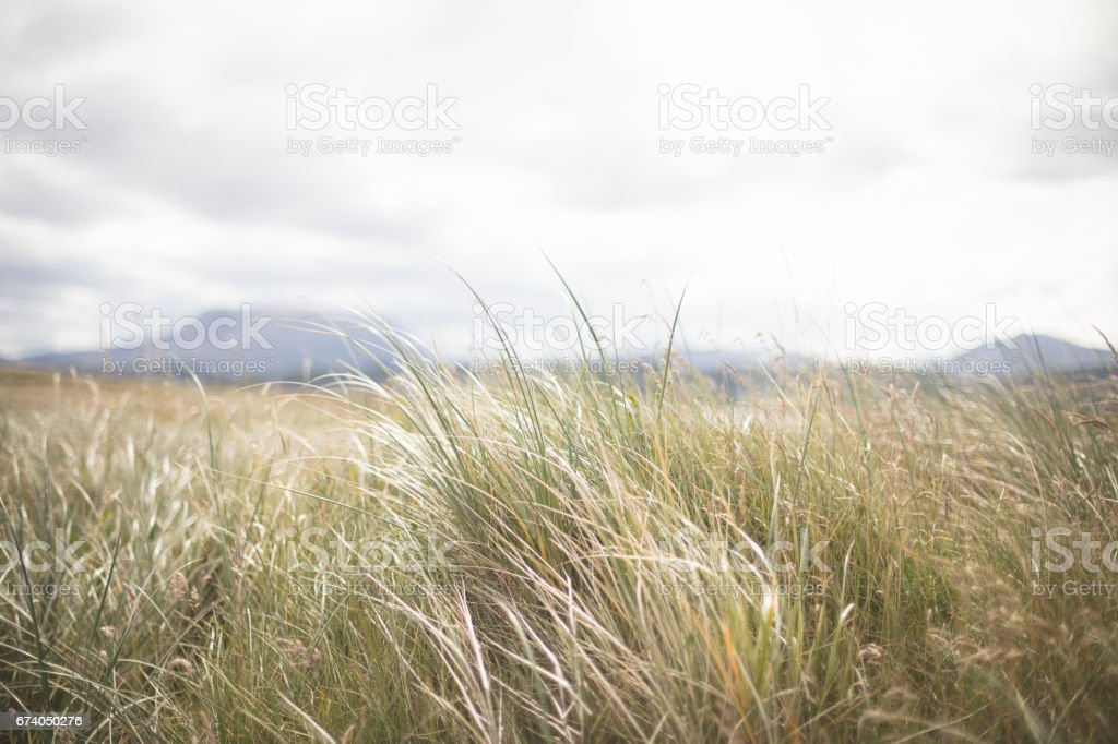 Sea grass detail at magheroarty beach, County Donegal. Ireland stock photo