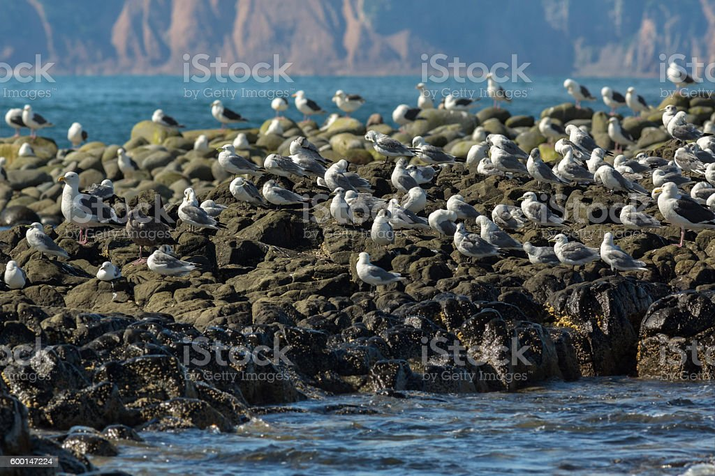 Sea Gull communicate in a flock on the rocks in stock photo