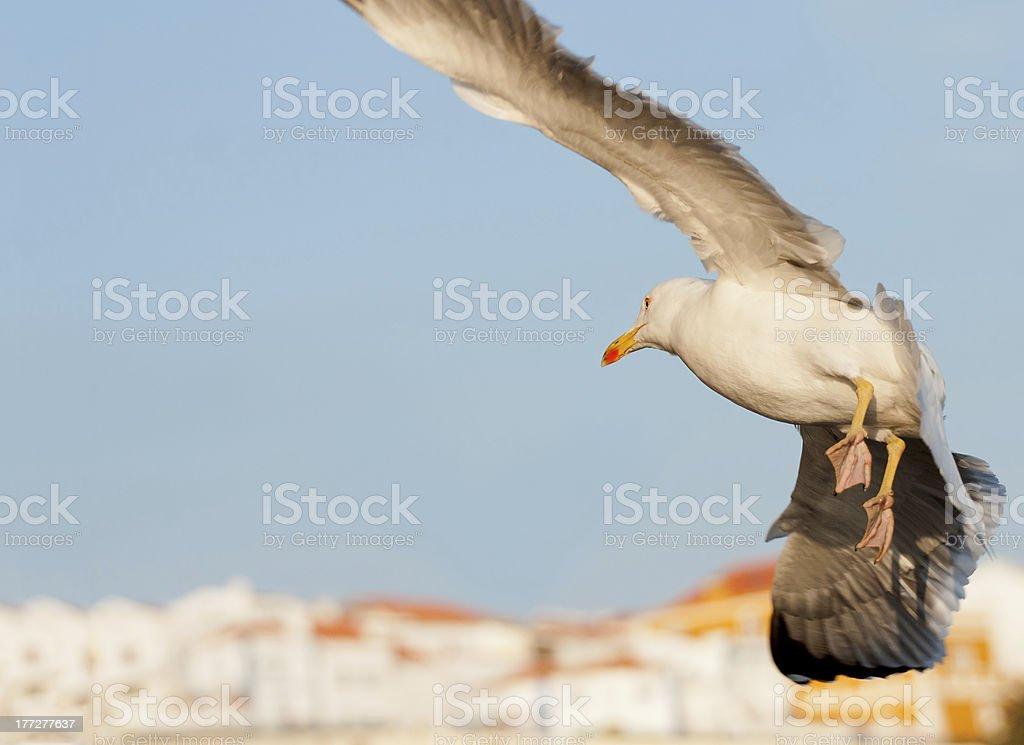 Sea Gull w locie Tworzenie ładny ramki zbiór zdjęć royalty-free