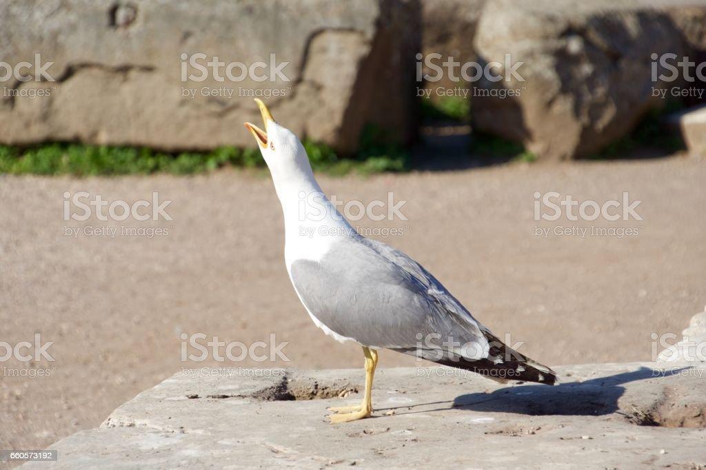 Sea Gull in Rome, Italy stock photo