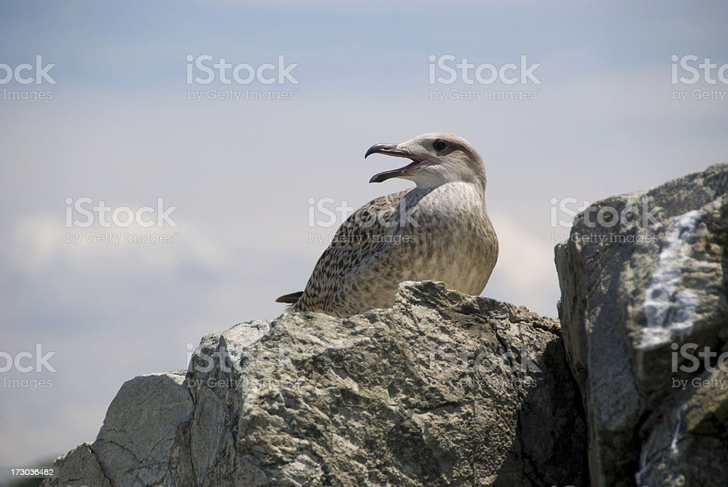 Sea Gull on rock stock photo