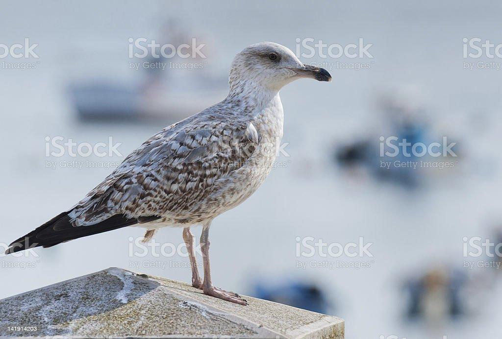 Sea Gull leżącej przed piękny w tle zbiór zdjęć royalty-free