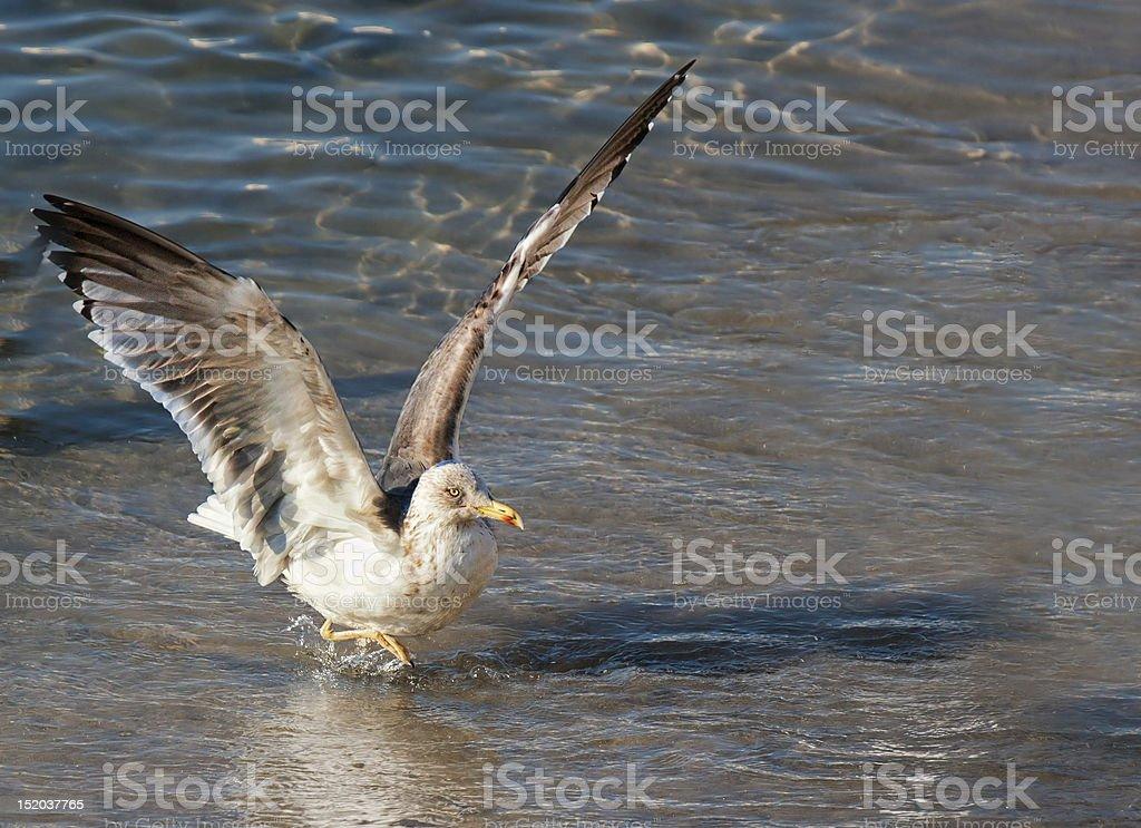 Sea Gull grając w fale zbiór zdjęć royalty-free
