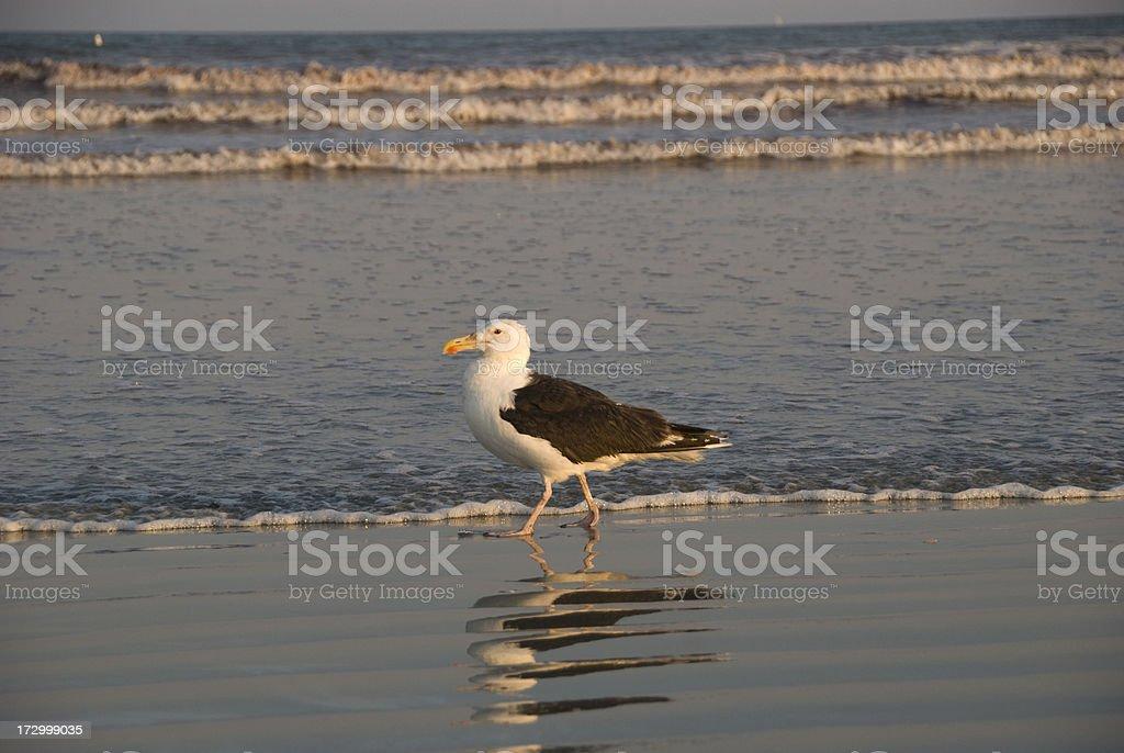 Sea Gull Strolling on Beach royalty-free stock photo