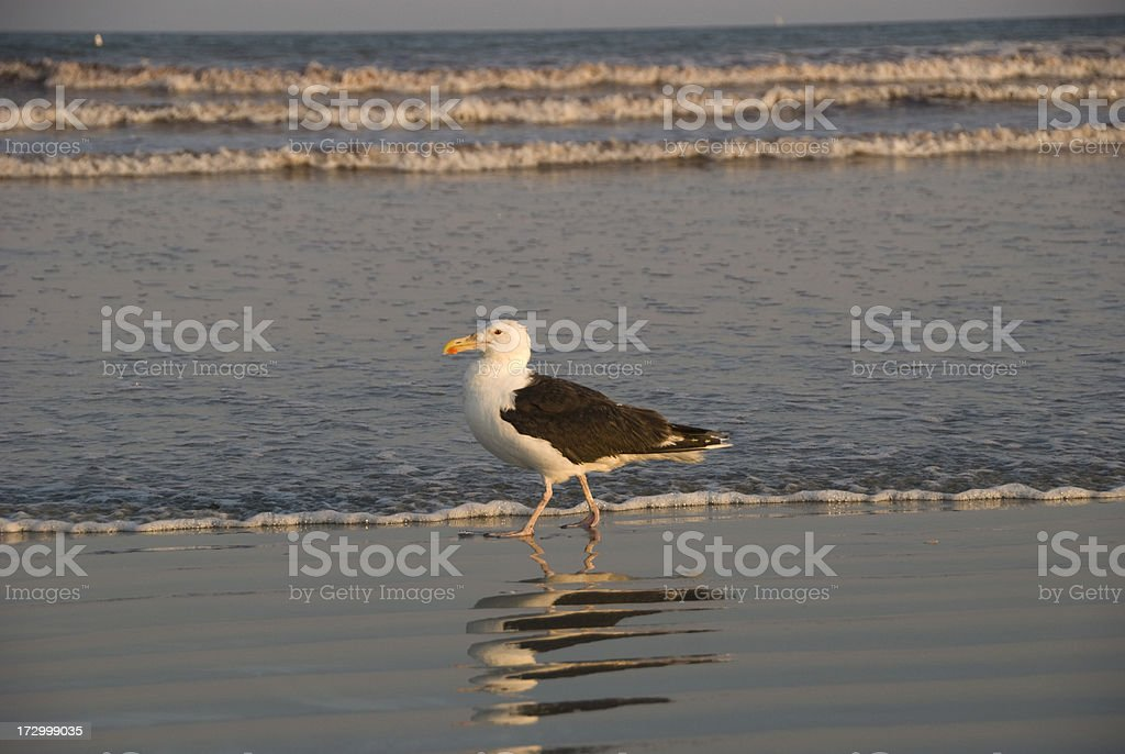 Sea Gull Strolling on Beach stock photo
