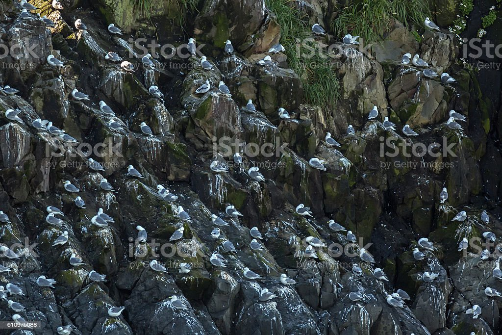 Sea gulls nest on the cliffs of Pacific Ocean. stock photo