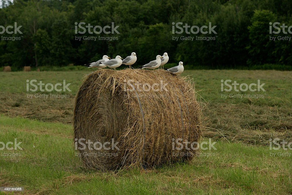 Sea Gulls on a round bale of hay stock photo