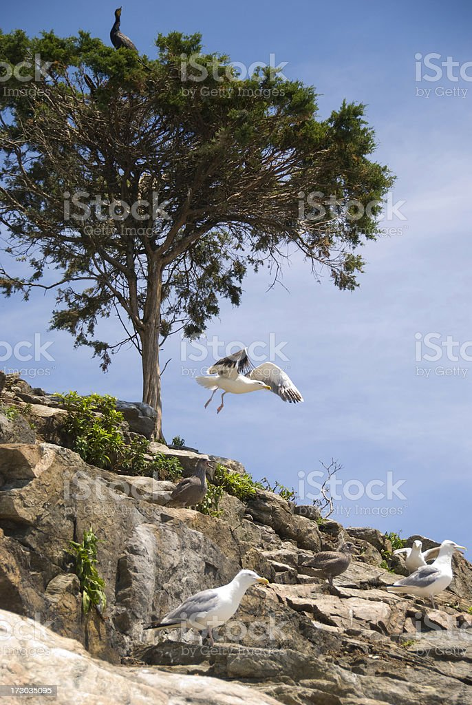 Sea Gulls on Gould Island, RI stock photo