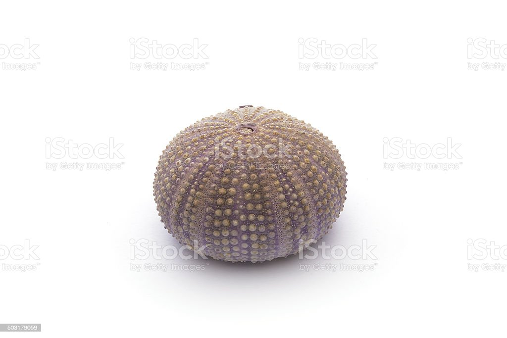 Sea Hedgehogs on the white Background royalty-free stock photo