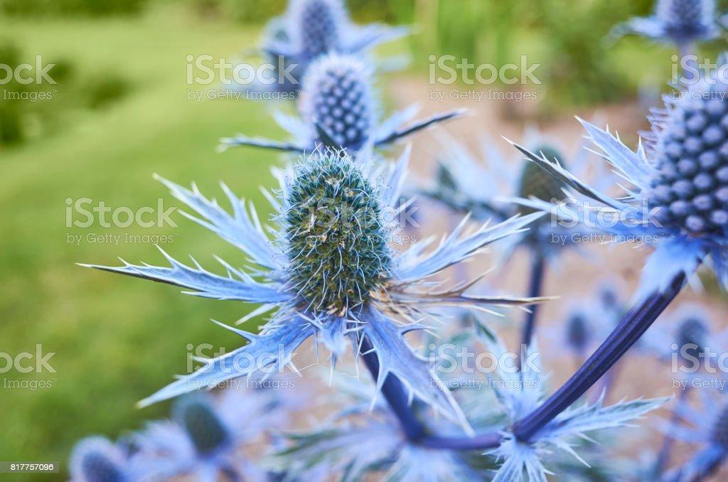 Sea holly flower in a garden stock photo