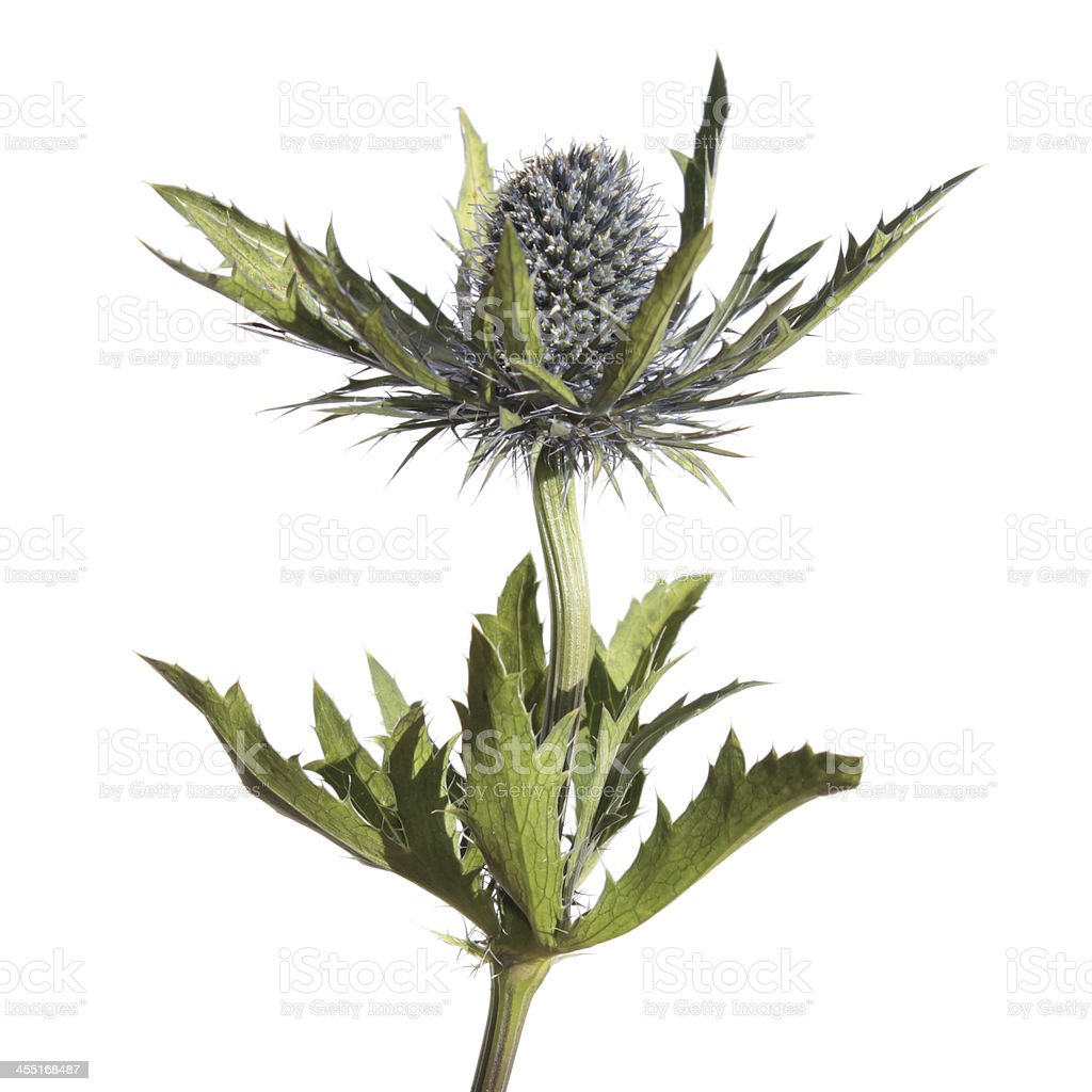 Sea Holly flower isolated on white stock photo