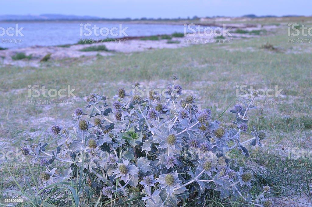 Sea holly on a Danish beach stock photo