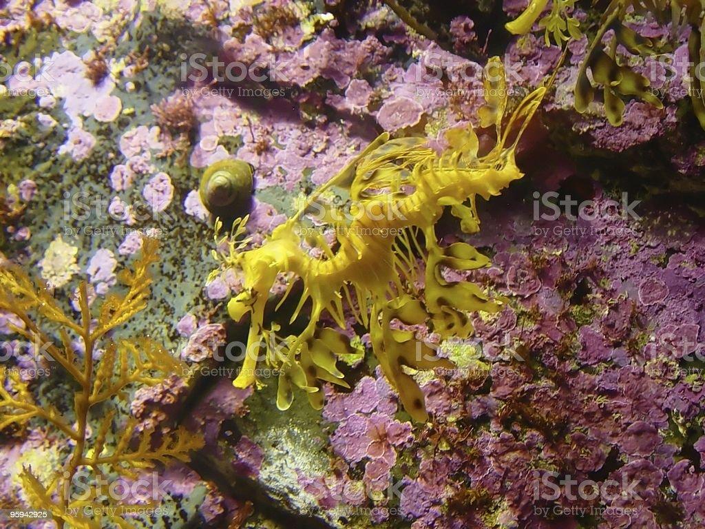 Sea Horse royalty-free stock photo