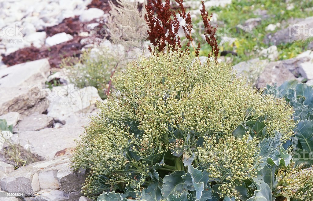 Sea Kale (Crambe maritima) Seed Pods stock photo