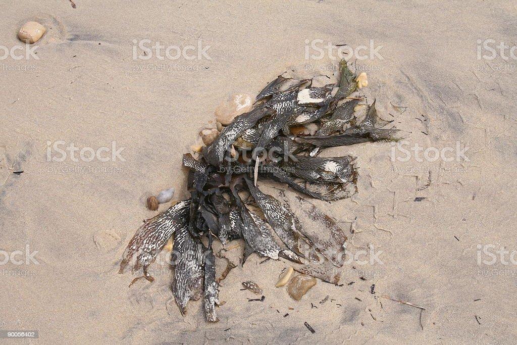 Sea Kelp on a sandy beach stock photo