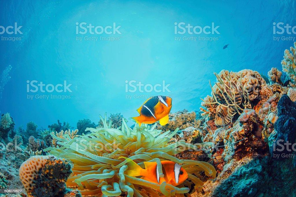 Sea life - Anemone  clownfish stock photo