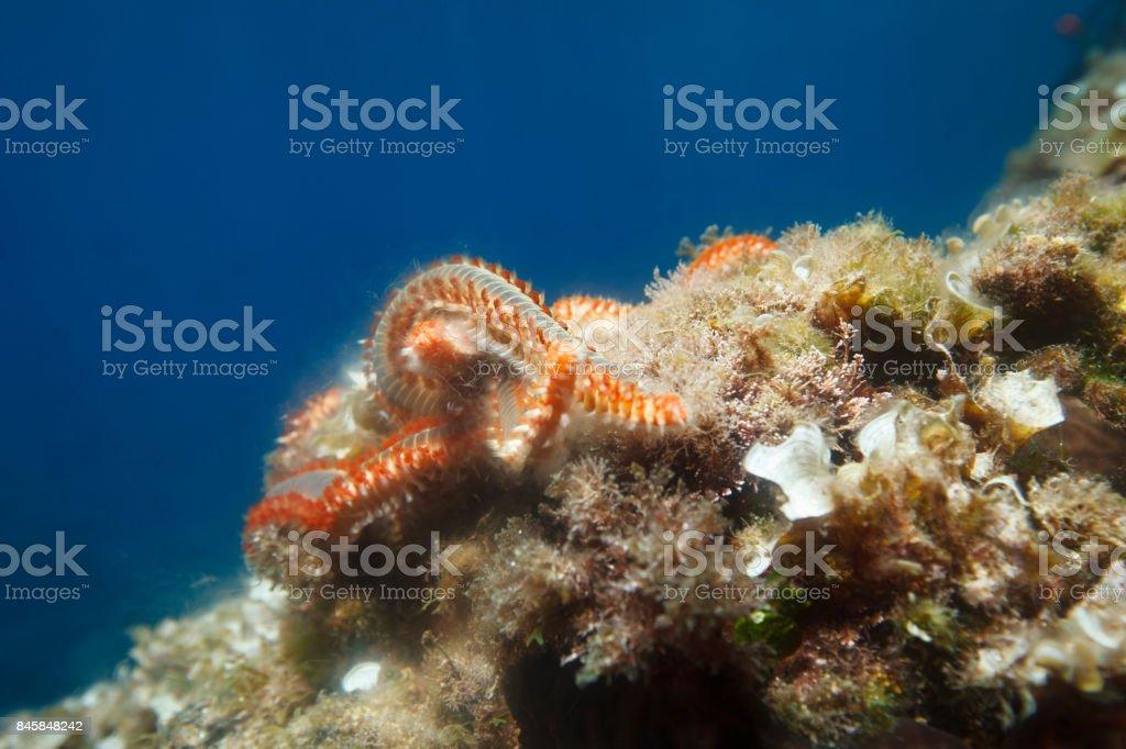 Sea life  Bearded fireworm Underwater Scuba diver point of view Mediterranean sea stock photo
