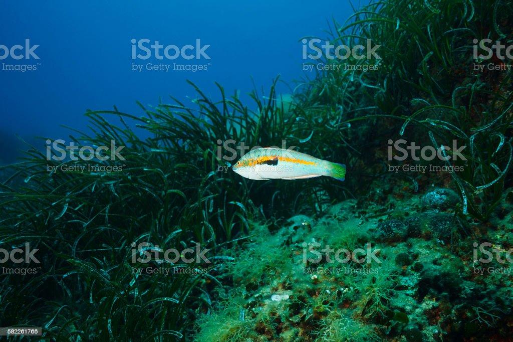 Sea life   Grass and fish   Mediterranean rainbow wrasse    Coris julis stock photo