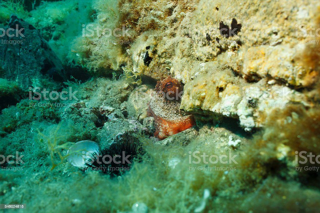Sea life    Octopus sea urchin and shell   Underwater stock photo