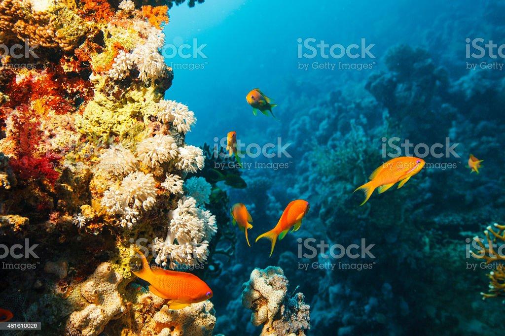 Sea life    Scalefin anthias  fish    Scuba Diver Point of View stock photo