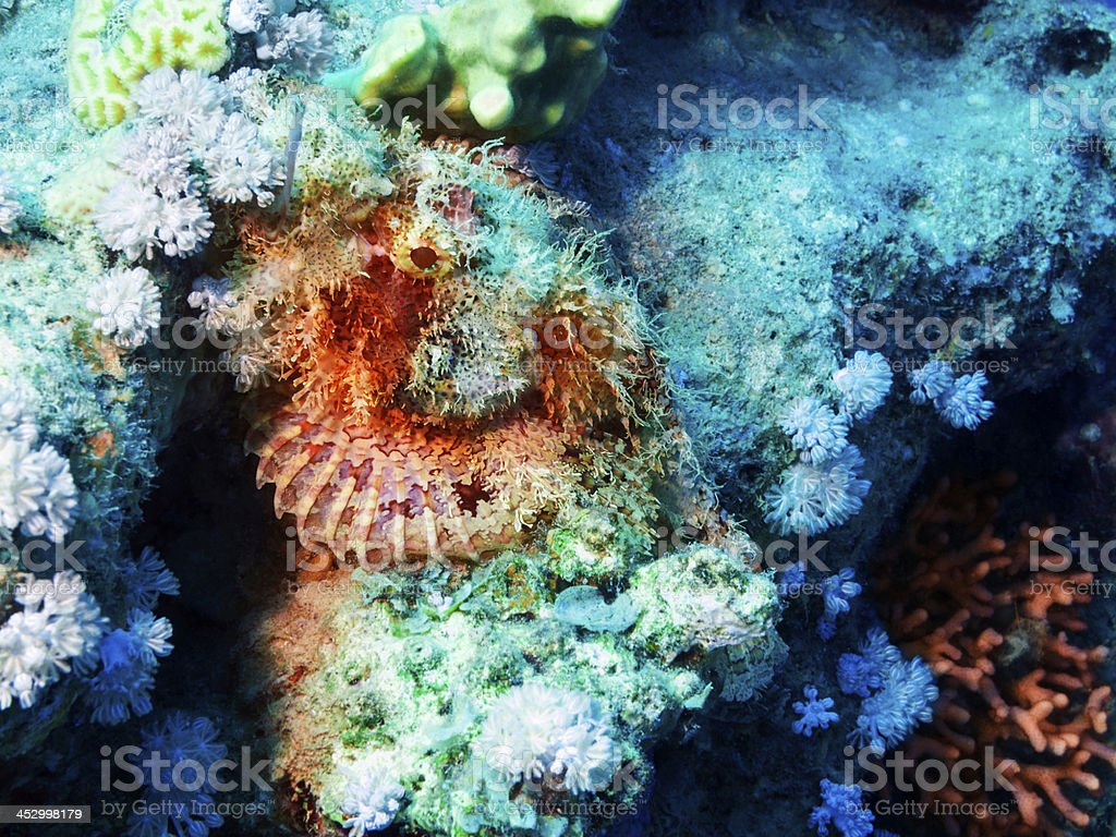 Sea life - Stonefish stock photo
