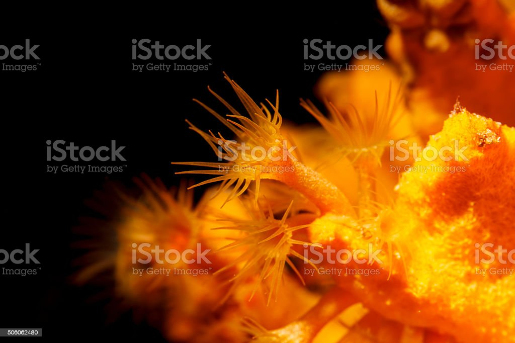 Sea Life   Underwater beauty   Yellow coral Mediterranean Sea stock photo