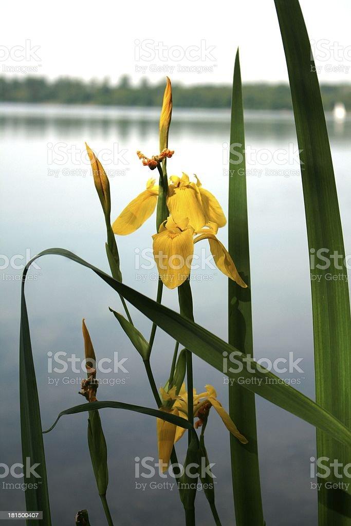 sea lily stock photo
