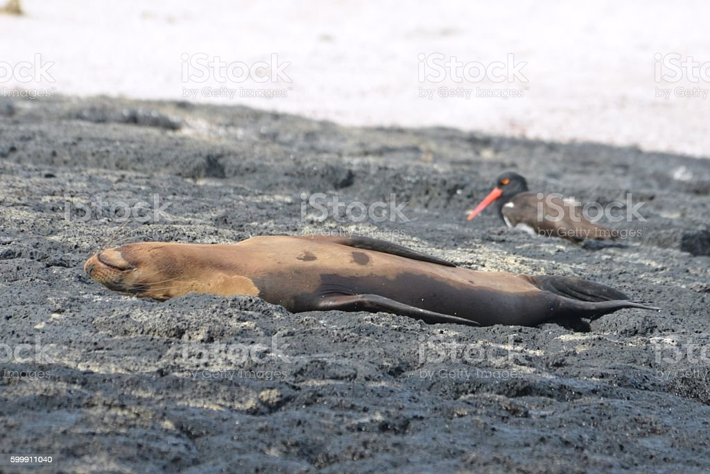Sea Lion and Oystercatcher stock photo
