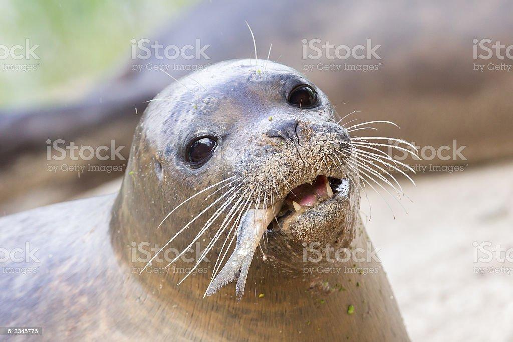 Sea lion closeup, eating fish stock photo