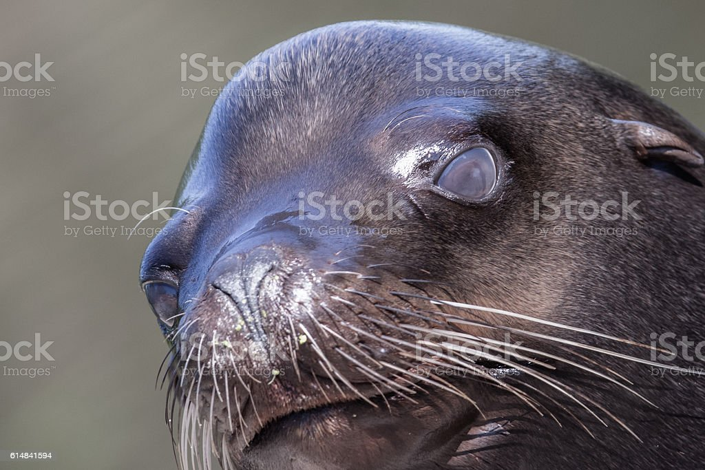 Sea lion closeup stock photo