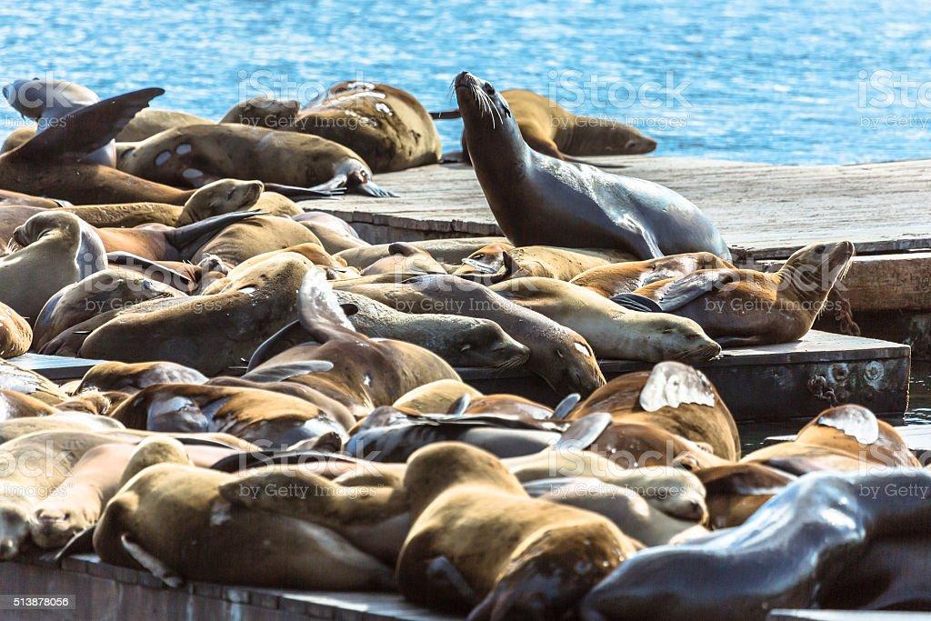 Sea Lion Colony in San Francisco stock photo