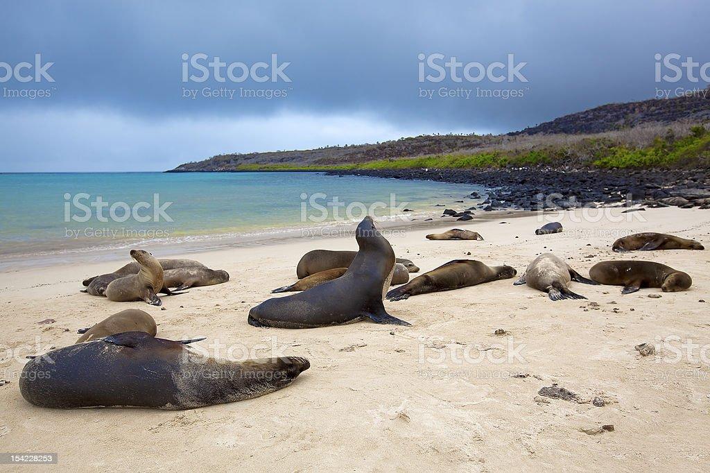 Sea lion colony stock photo