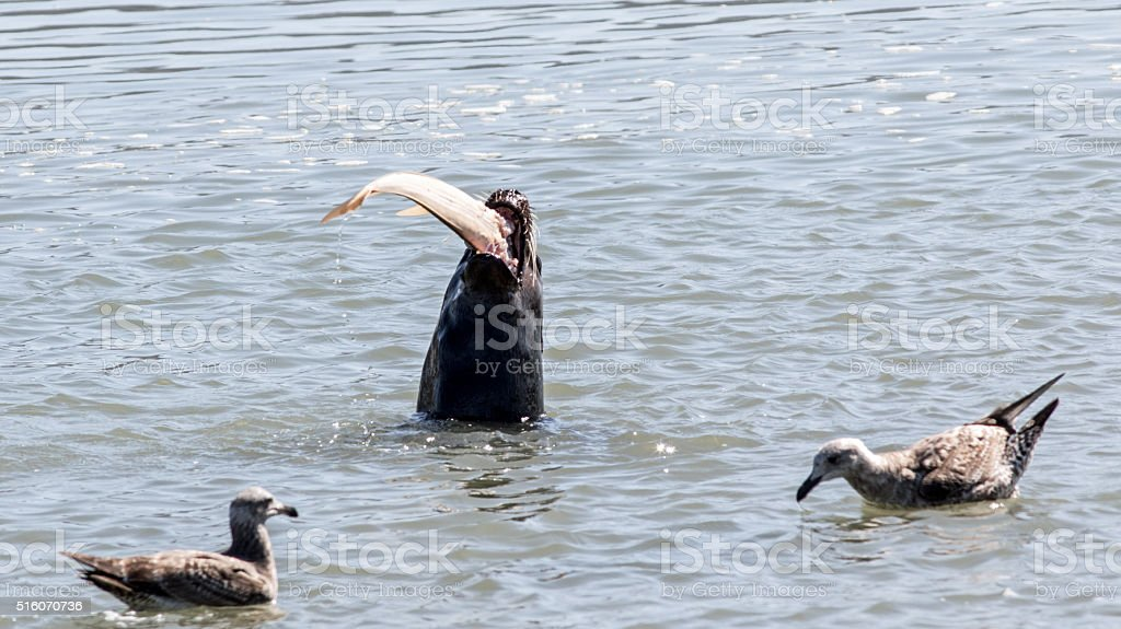 Sea Lion Eating A Fish stock photo